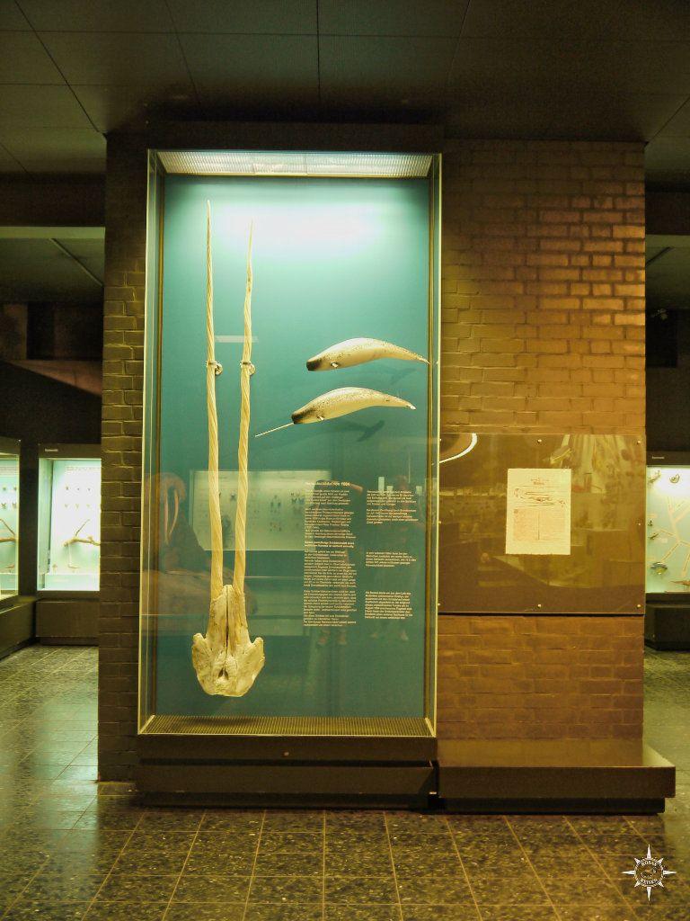Narwalschädel mit zwei Zähnen